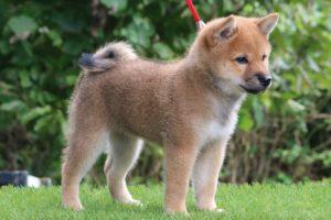 柴犬20202年7月23日生まれれの女の子